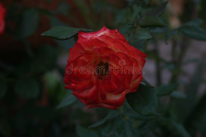 Rose Alone rouge photographie stock libre de droits