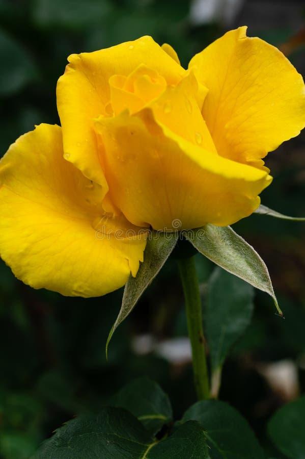 Rose amarilla ?tacto del Midas ? fotos de archivo