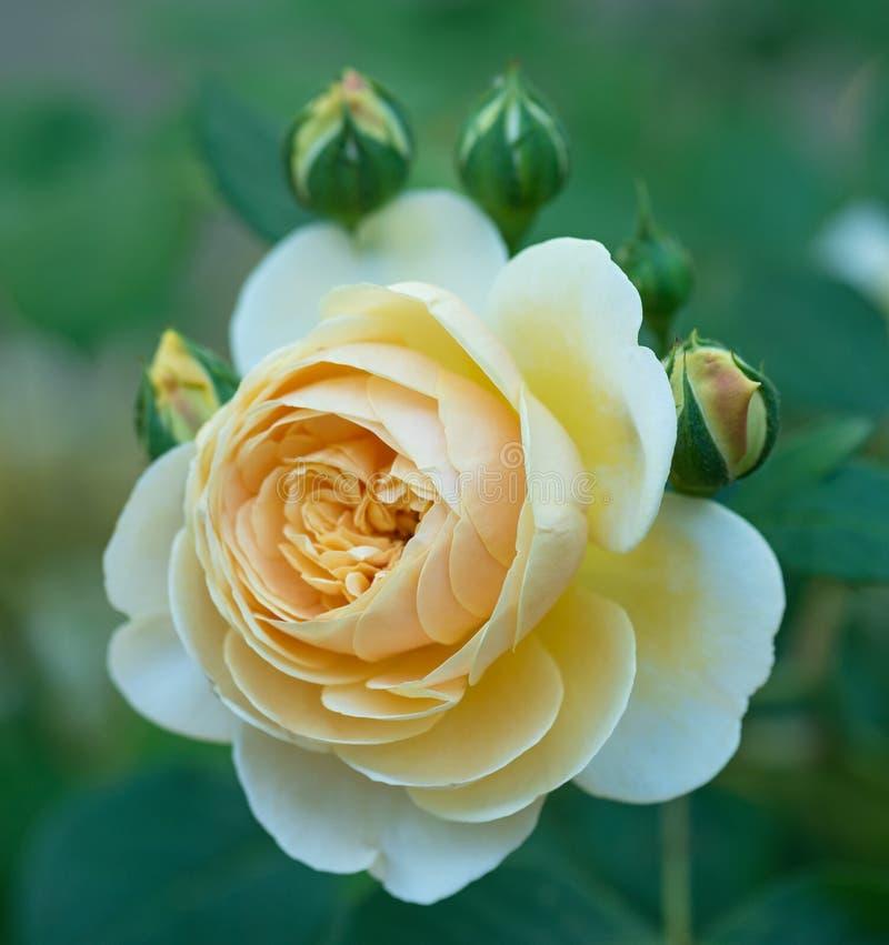 Rose amarilla fresca imagen de archivo