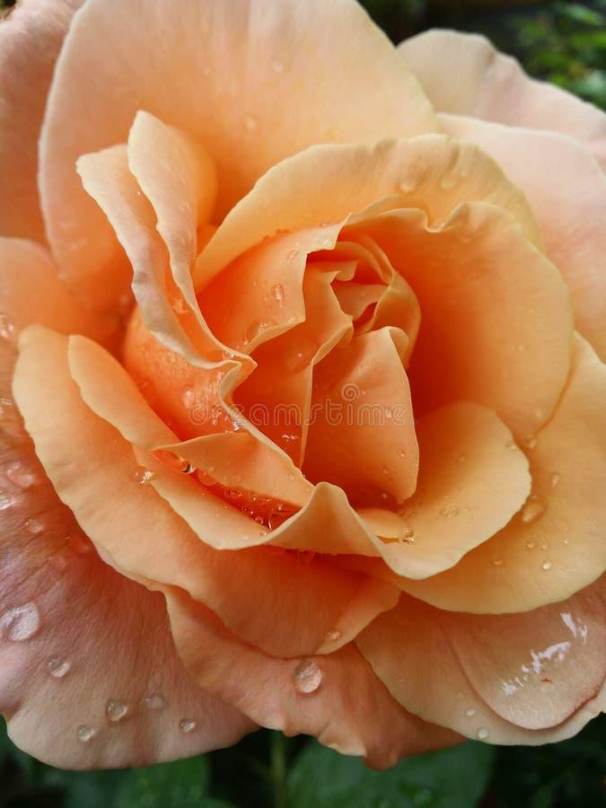 Rose anaranjada foto de archivo