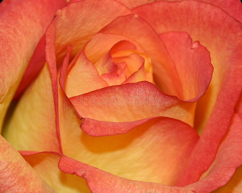 Rose anaranjada y amarilla imagenes de archivo