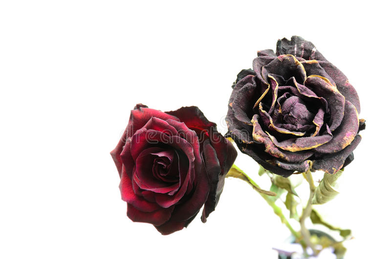 Rose appassenti fotografie stock