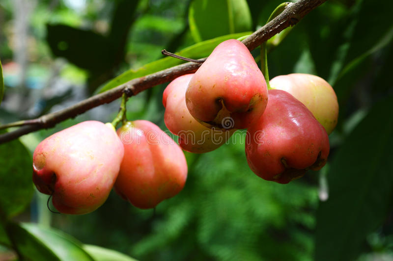 Rose apple on the tree stock image