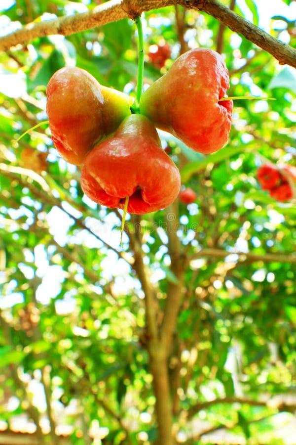 Rose Apple Trees y fruta imagenes de archivo