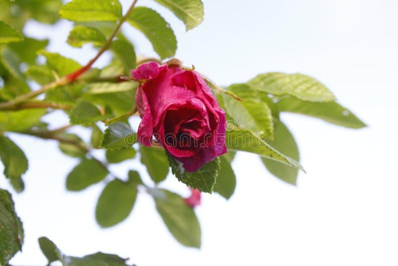 Rose après la pluie photo stock