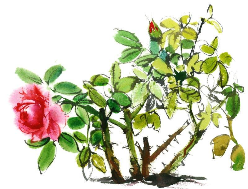 Rose arbusto, bosquejo de la acuarela ilustración del vector