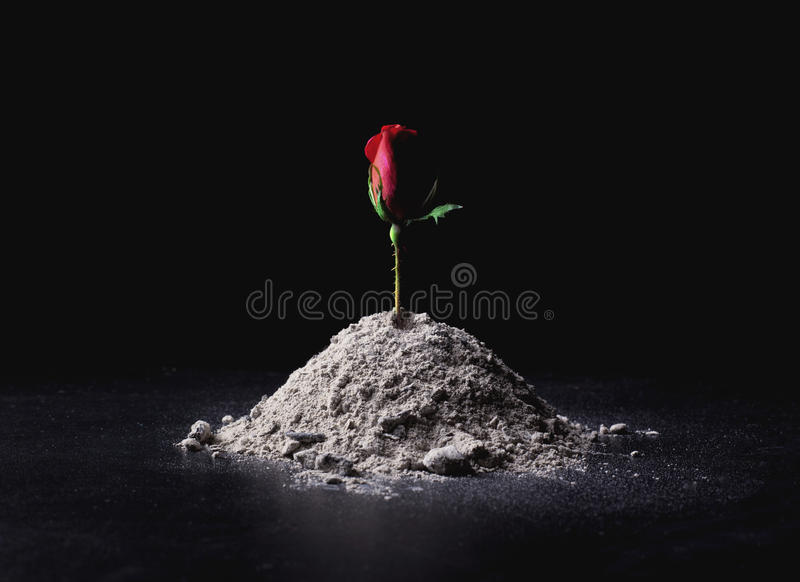 Rose from ashes royalty free stock images