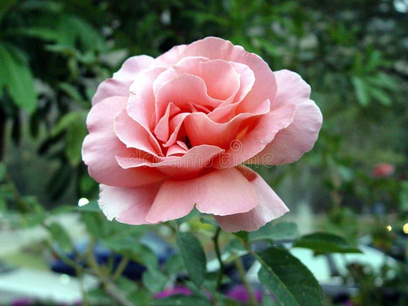 Rose auf dunklem Hintergrund lizenzfreie stockfotografie