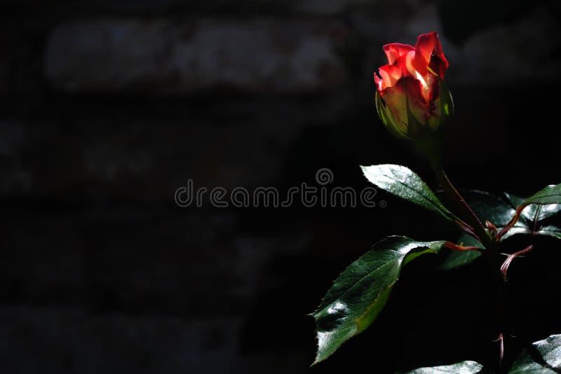 Rose auf einem Backsteinmauerhintergrund stockfoto