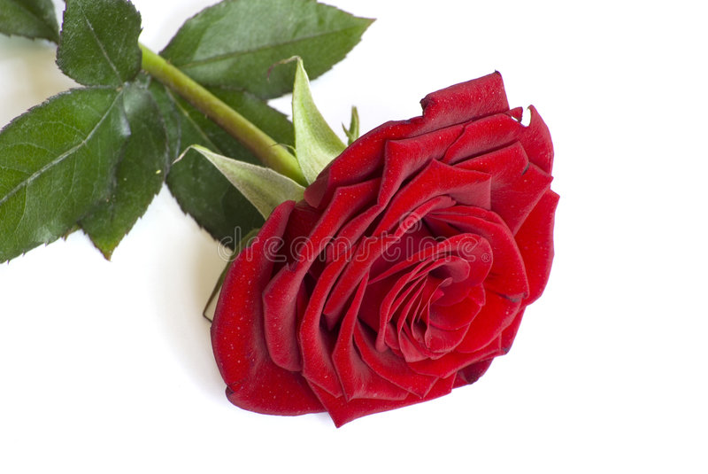 Rose auf einem Weiß stockbilder