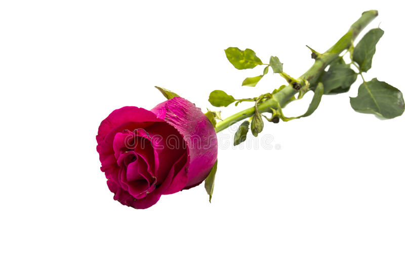 Rose auf weißem Hintergrund stockbild