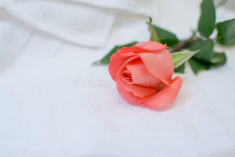 Rose auf weißem Tuch stockbild
