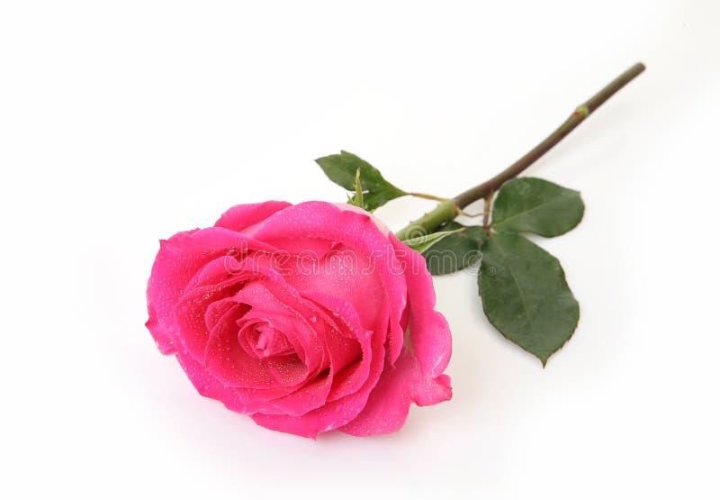 Rose auf weißem Hintergrund lizenzfreie stockfotografie
