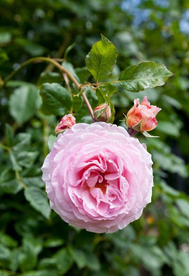 Rose Ausbord arkivbild