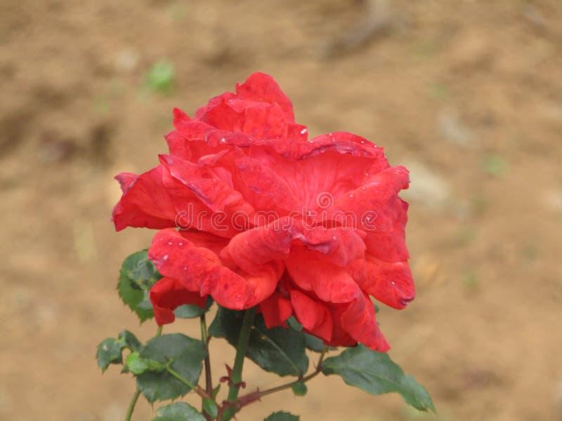 Rose avec des épines images libres de droits