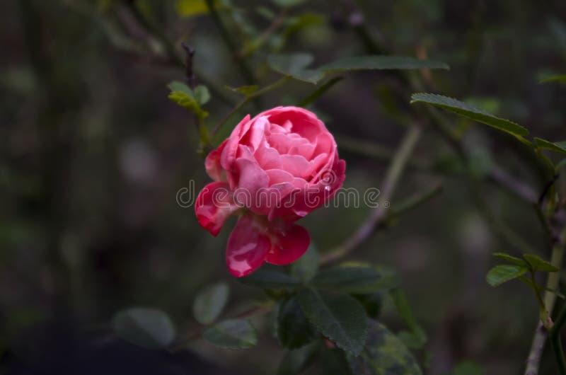 Rose avec des gouttes de pluie image stock
