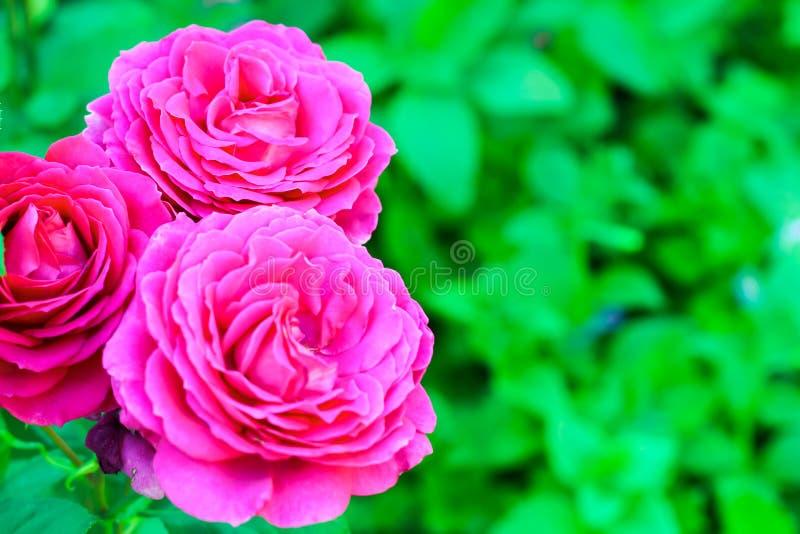 Rose avec la fleur rose blanche fleurissant dans le jardin du fond vert photographie stock