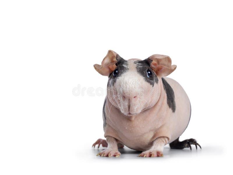 Rose avec le porc maigre d'anthracnoses sur le blanc photos stock