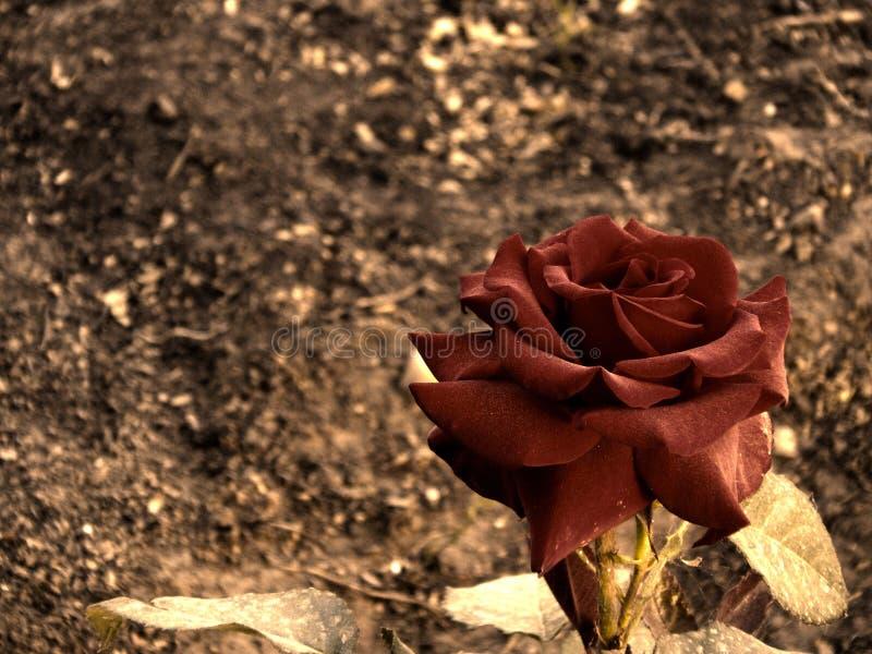 Rose avec les feuilles vinicoles seules photo stock