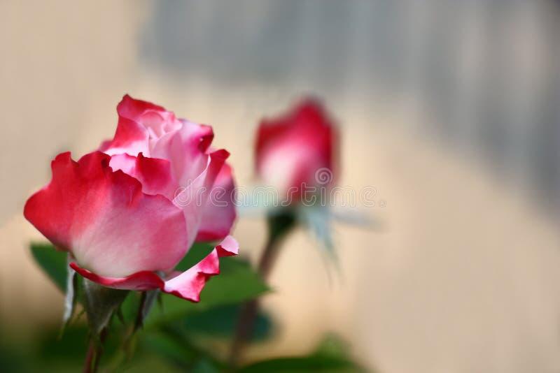 Rose avec les pétales blanc rouge photographie stock
