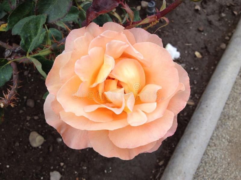 Wonderful rose in pink yellow orange colors. royalty free stock photo