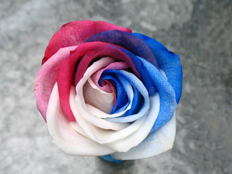 Rose azul blanca roja imágenes de archivo libres de regalías