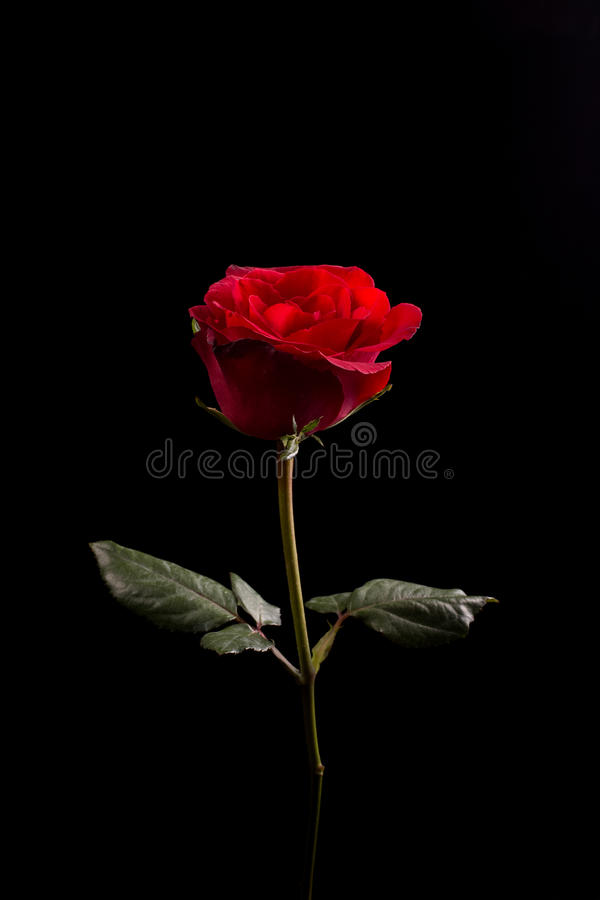 Rose. On back background. Give  to darling in valentine's day. or send love to marry stock photo