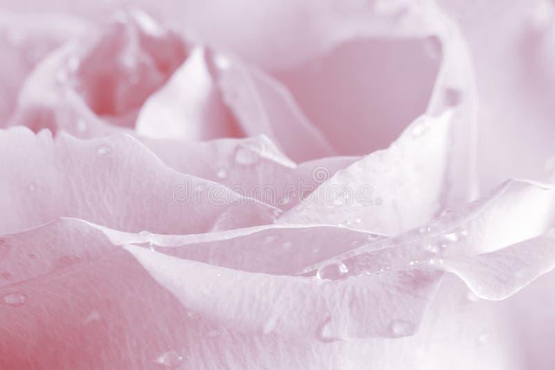 Rose Background rose - photos courantes de fleur images libres de droits