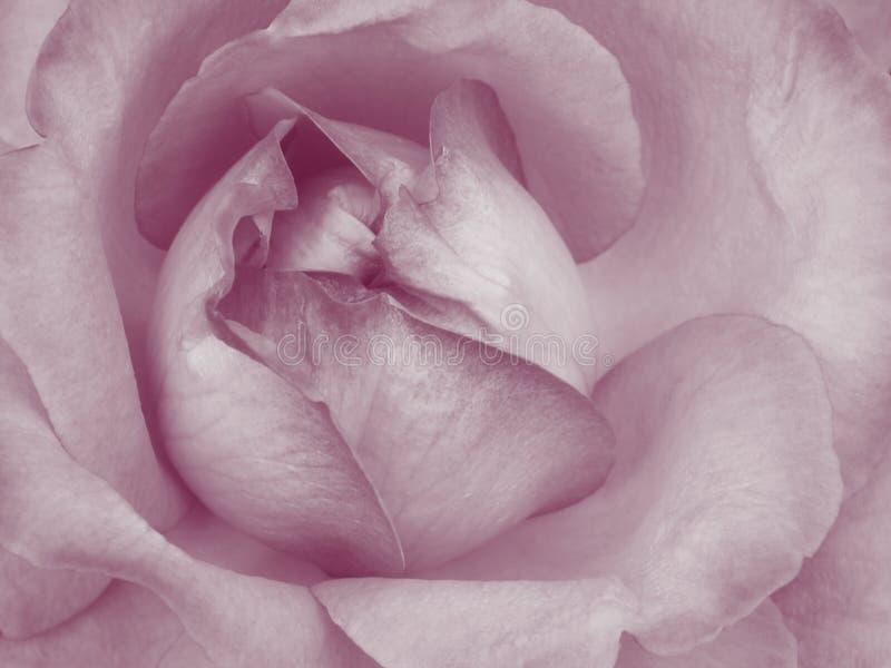 Rose Background rose - photos courantes de fleur photos libres de droits
