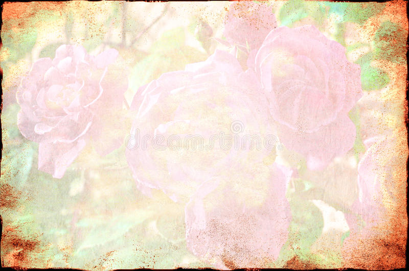 Rose background. Texture in decay royalty free stock images