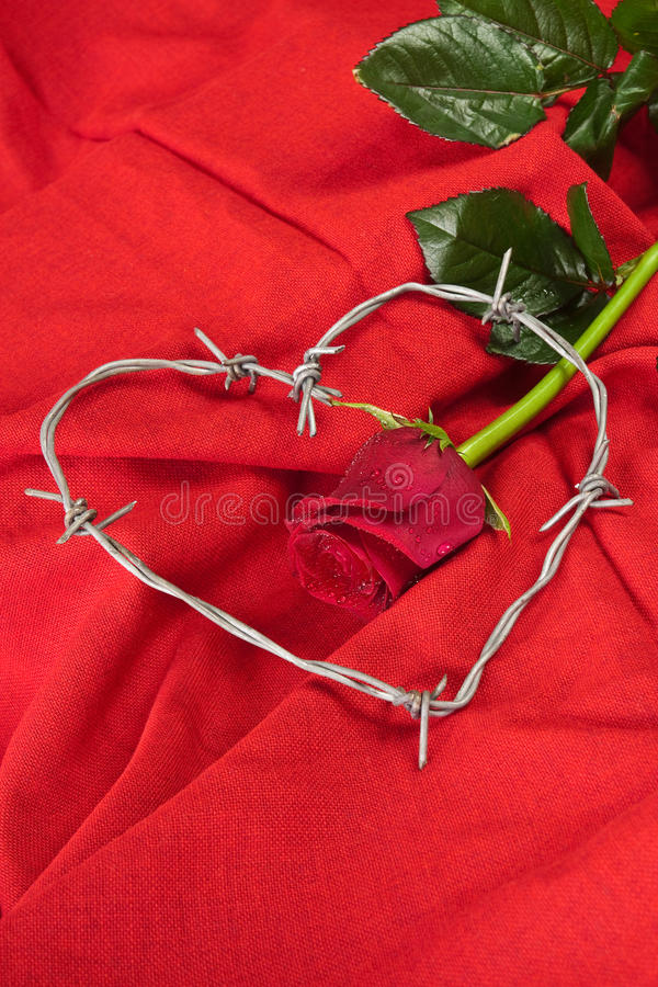 Rose and barbed wire. Barbed wire heart-shaped and rose on red background royalty free stock photo