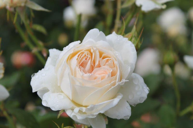 rose barn royaltyfri bild