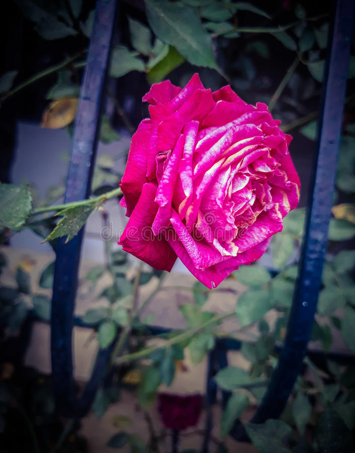 A rose royalty free stock photography