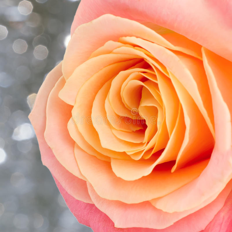 Rose. Beautiful rose over holiday bokeh background with copy space royalty free stock photo