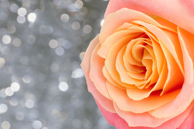 Rose. Beautiful rose over holiday bokeh background with copy space royalty free stock image