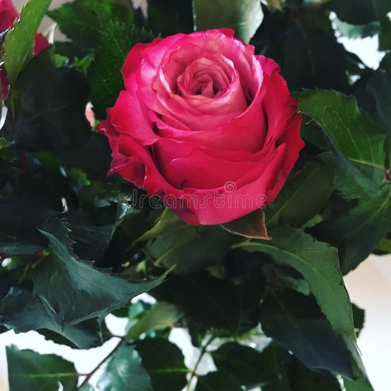 Rose in a beautiful pink colour. Nice rose in a beautiful pink colour with green leaf around royalty free stock image
