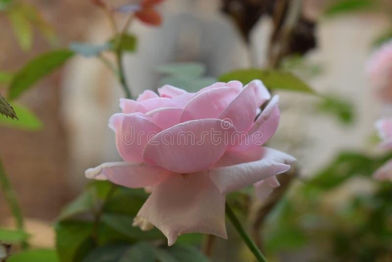 Rose beautiful pink rose royalty free stock image