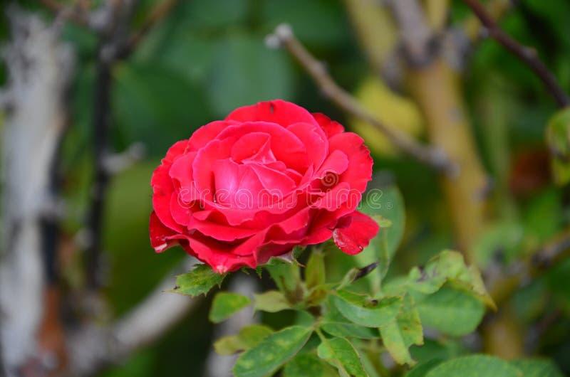 Rose Beautiful Pure Velentine rossa immagine stock libera da diritti