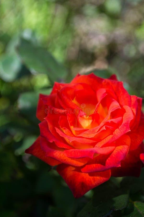 Rose_beauty obrazy royalty free