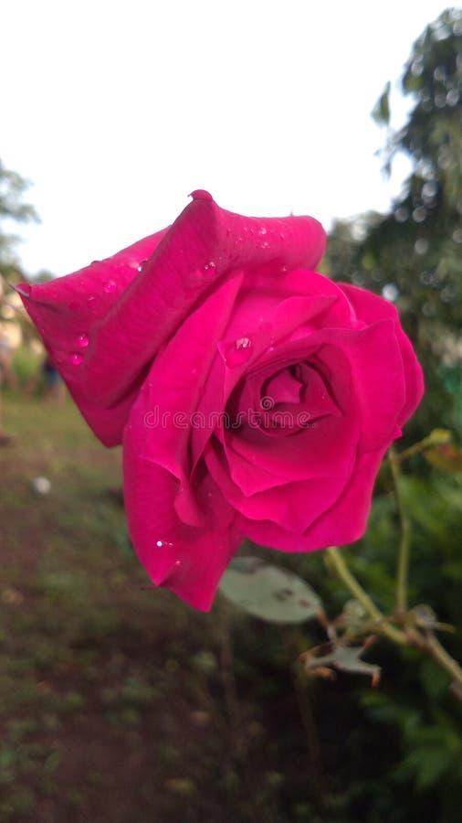 Rose Beauty rouge de nature photographie stock libre de droits