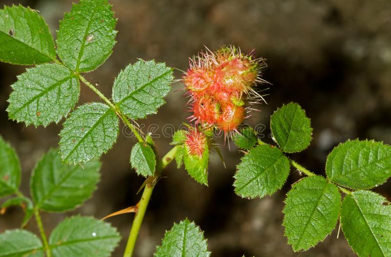 Rose bedeguar gall. Caused by the gall wasp Diplolepis rosae, on a leaf of a Field rose royalty free stock photography
