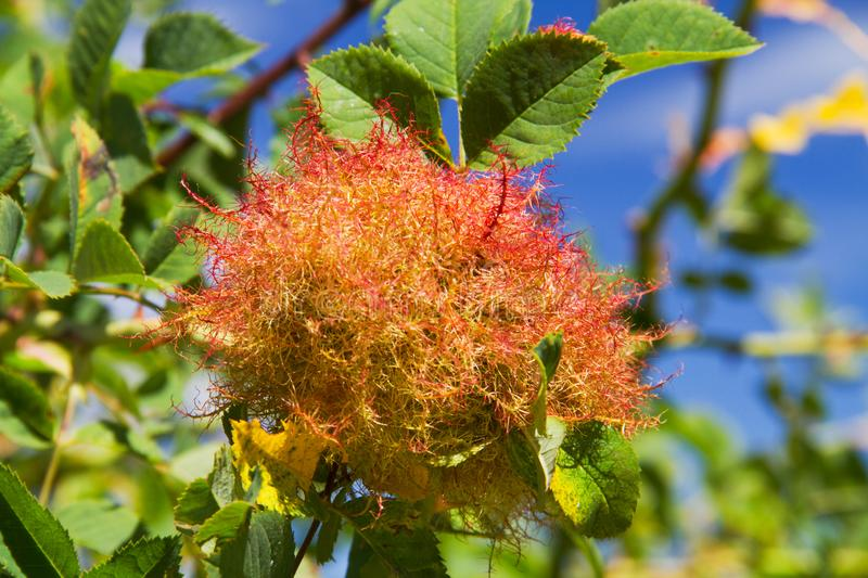 Rose bedeguar gall. Caused by the gall wasp Diplolepis rosae, on a leaves of a Field rose royalty free stock photos
