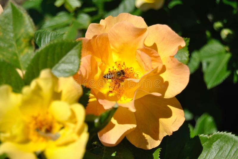 Rose. Bee taking nector from flower stock images