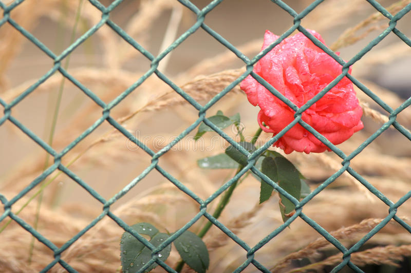 Rose behind the fence. Rose growing on garden behind the fence stock photos