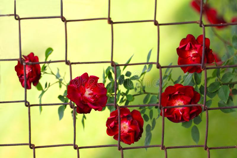 Rose Behind Fence royalty free stock photo