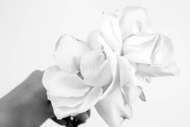 Rose bianche fotografie stock
