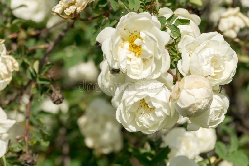 Rose bianche di estate immagini stock libere da diritti