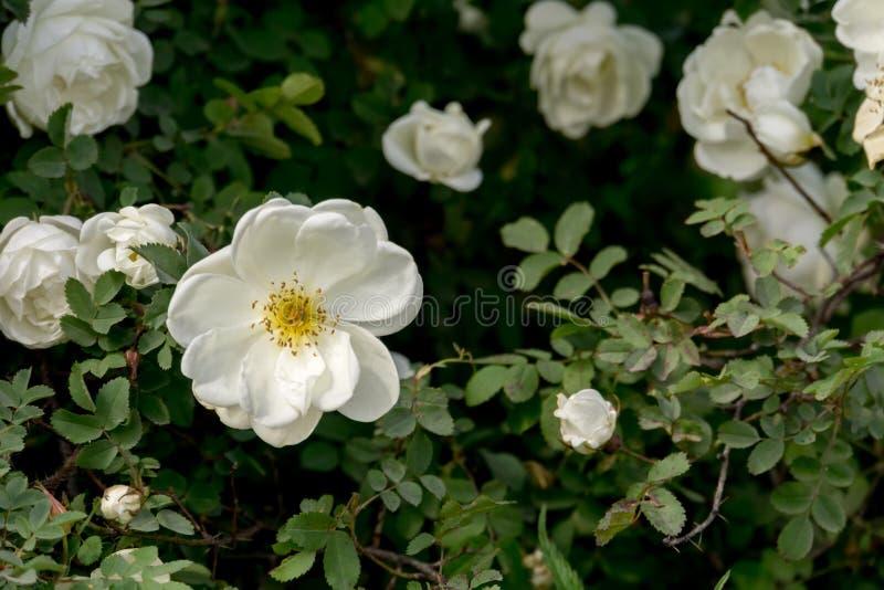 Rose bianche di estate fotografia stock libera da diritti
