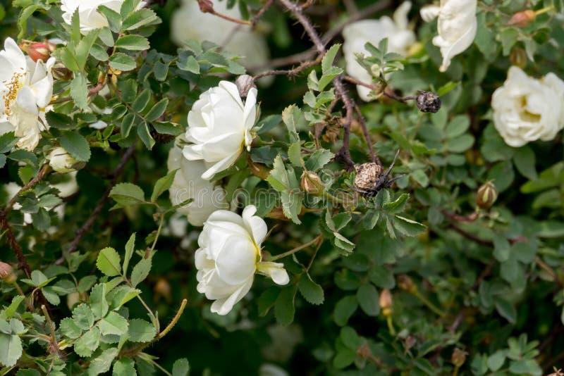 Rose bianche di estate immagini stock