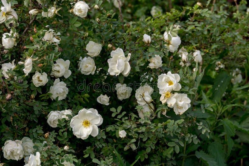 Rose bianche di estate fotografie stock libere da diritti